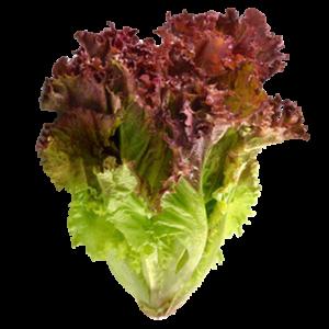 Red Leaf Lettuce紅葉生菜